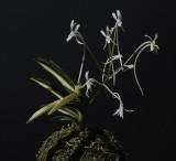 Neofinetia falcata 'Shinkotou'. The foliage of this particular plant is half white half green.