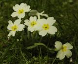 Primrose family (Primulaceae)