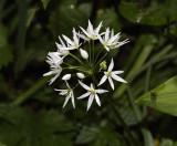 Onion family (Alliaceae)