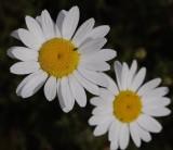 Daisy family (Asteraceae)