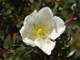 Rose family (Rosaceae)