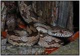 Gulf Hammock Rat Snake (Intergrade)