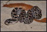 Southern Hognose Snake (Heterodon simus)