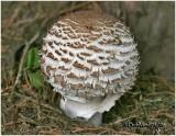 Fungi42A