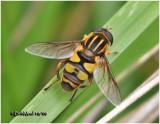 Syrphid FlyB 093008-Female