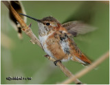 Rufous Hummingbird-Immature Male
