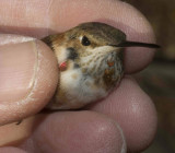 The Rufous during banding.