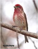 Purple Finch-Male