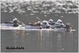 Long-tailed Ducks-Breeding Plumage