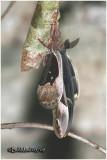Promethea Moth-Male