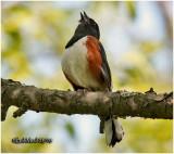 Eastern Towhee-Male