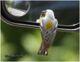 Northern Parula Admires Himself in Auto Mirror