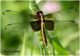 Widow Skimmer-Female
