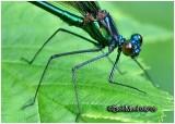 BROADWINGED DAMSELFLIES - Family Calopterygidae