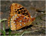 Great Spangled FritillarySpeyeria cybele