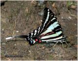 Zebra Swallowtail-Summer FormEurytides marcellus