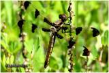 Twelve-spotted Skimmer-Female