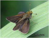 Dun Skipper-Male