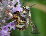 Wool Carder Bees-Mating