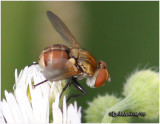 Tachinid Fly