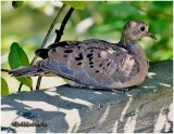 Mourning Dove-Juvenile