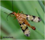 Scorpion Fly-Male