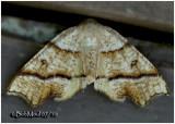 Hollow-spotted Plagodis Moth Plagodis alcoolaria #6844