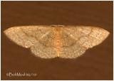 Common Tan MothPleuroprucha insulsaria #7132