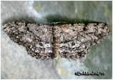 Umber MothHypomecis umbrosaria   #6583