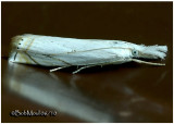 Small White Grass-Veneer MothCrambus albellus  #5361
