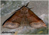 Maple Looper Moth Parallelia bistriaris #8727
