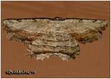 Common Lytrosis MothLytrosis unitaria #6720