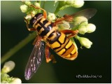 Yellowjacket Hover Fly