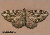 Barberry Geometer MothCoryphista meadii #7290