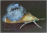 Sooty-winged Chalcoela MothChalcoela iphitalis #4895