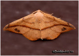 Juniper-twig Geometer Moth-MalePatalene olyzonaria #6974