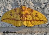 Imperial Moth-FemaleEacles imperialis #7704