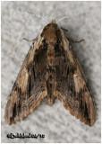 Elm Sphinx MothCeratomia amyntor #7786
