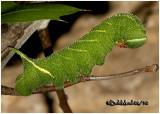 Blinded Sphinx Moth Caterpillar Paonias excaecatus #7824