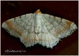 Minor Angle Moth Macaria minorata #6340
