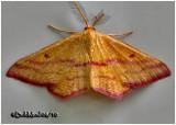 Chickweed Geometer Moth-MaleHaematopis grataria #7146</em