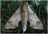Virginia Creeper Sphinx MothDarapsa myron #7885