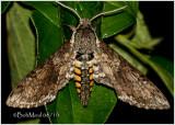 Carolina Sphinx MothManduca sexta  #7775