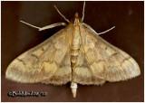 European Corn Borer Moth-FemaleOstrinia nubilalis #4949