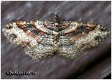 Bent-line Carpet Moth-FemaleCostacovexa centrostrigaria #7416