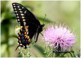 Black Swallowtail-MalePapilio polyxenes