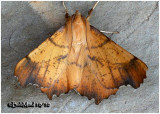 Maple Spanworm Moth-MaleEnnomos magnaria #6797