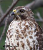 Red-shouldered Hawk-Juvenile