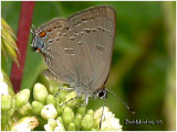 Edward's Hairstreak-N