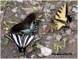 Zebra, Spicebush & Eastern Tiger SwallowtailsE. marcellus, P. troilus, P. Glaucus